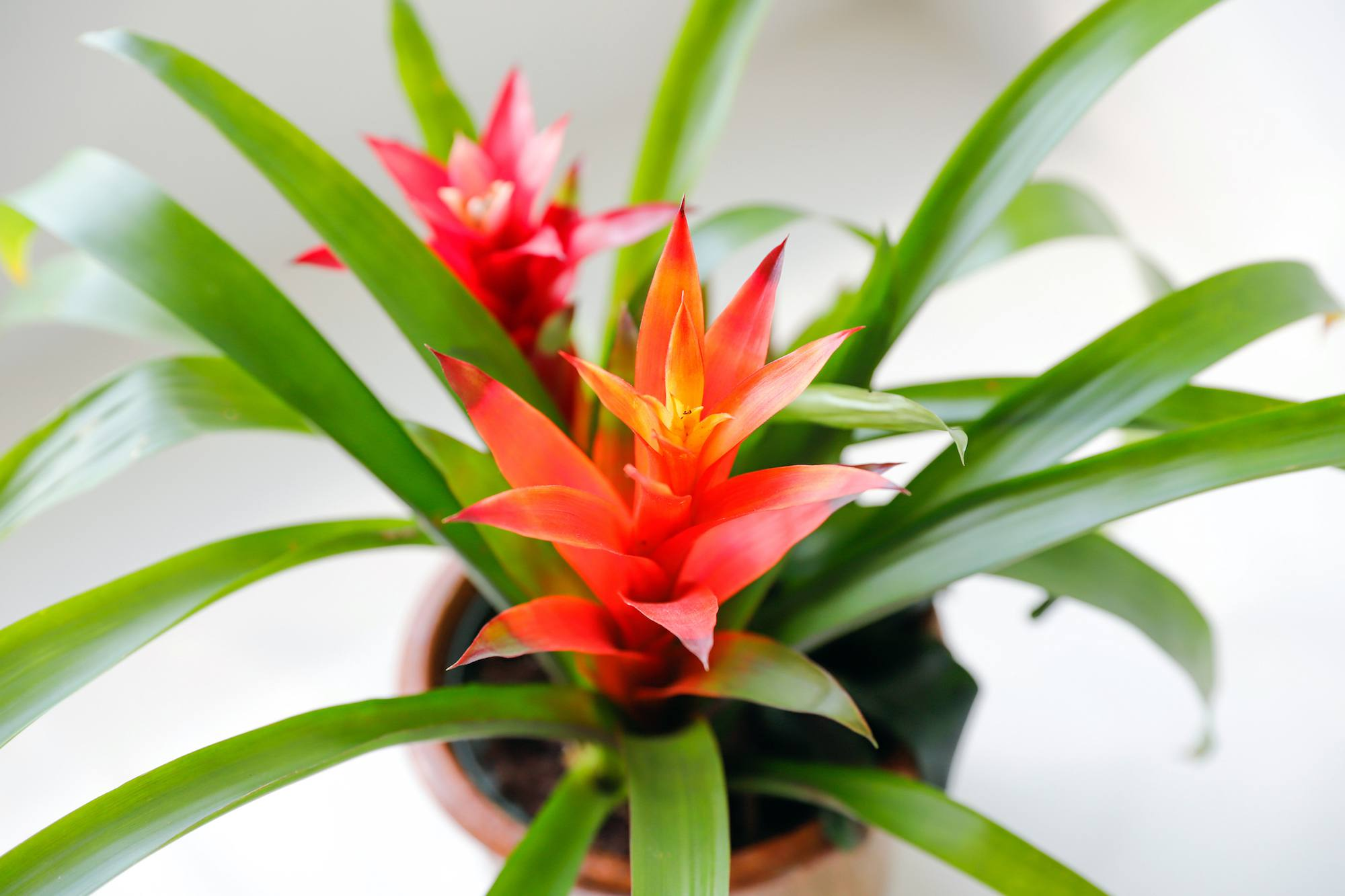House Plants - Bromeliads - The Spruce