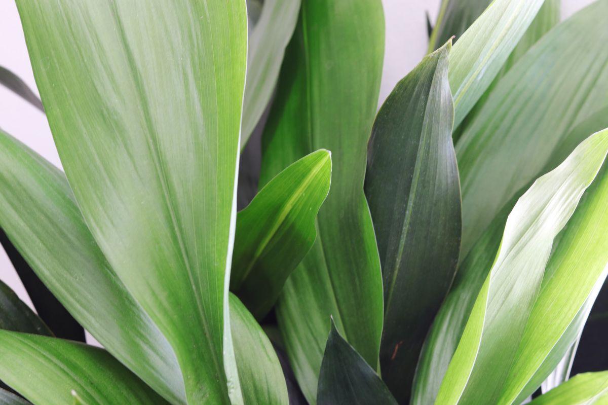 House Plants - Cast Iron - Lean & George