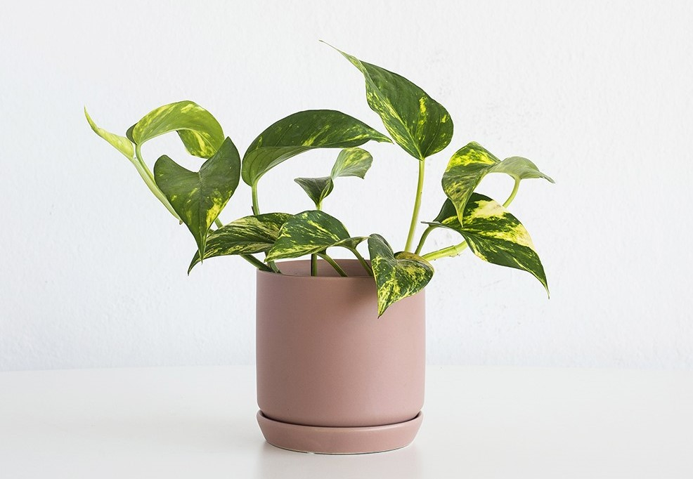 House Plants - Devils Ivy