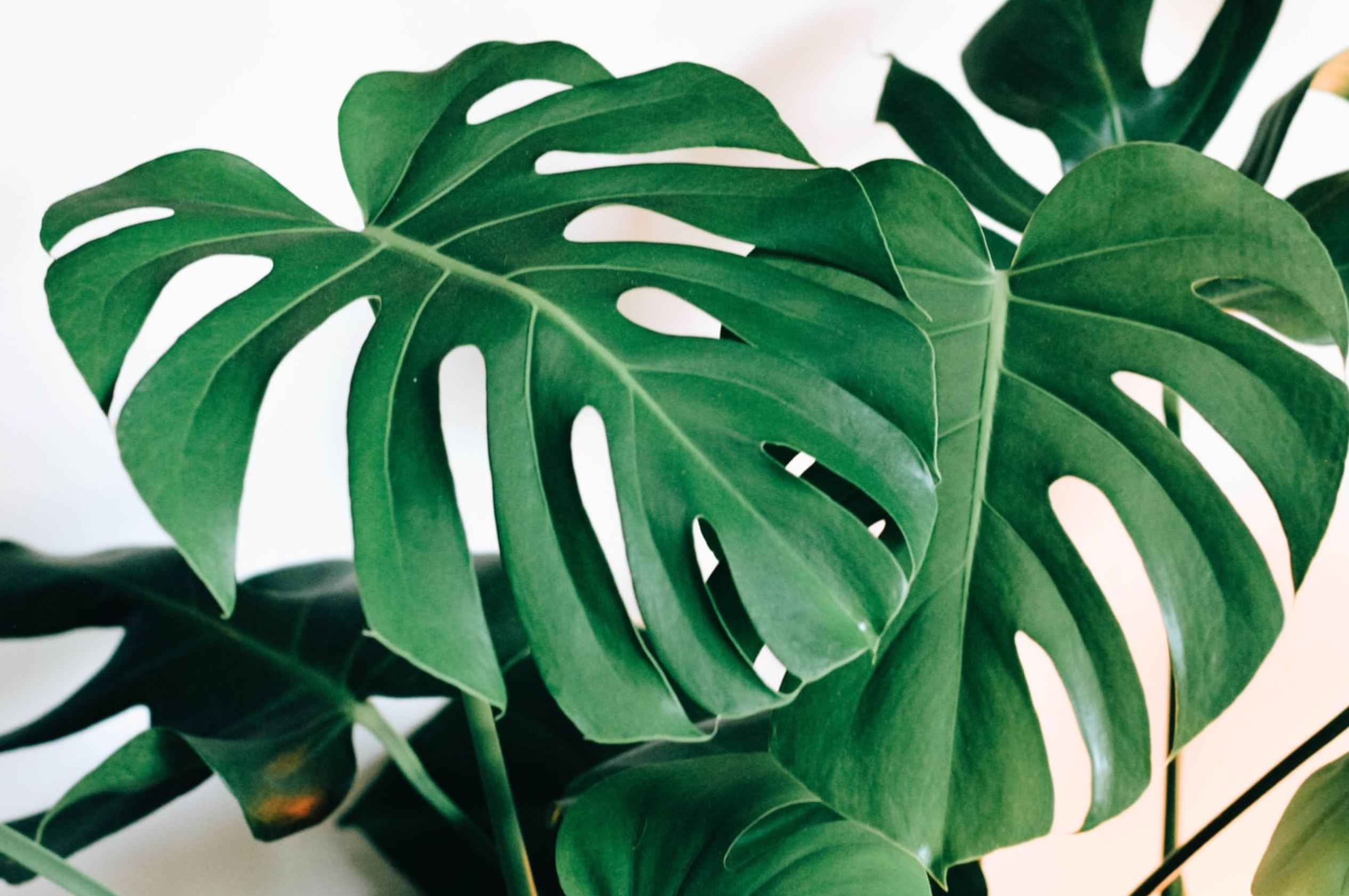House Plants - Monstera