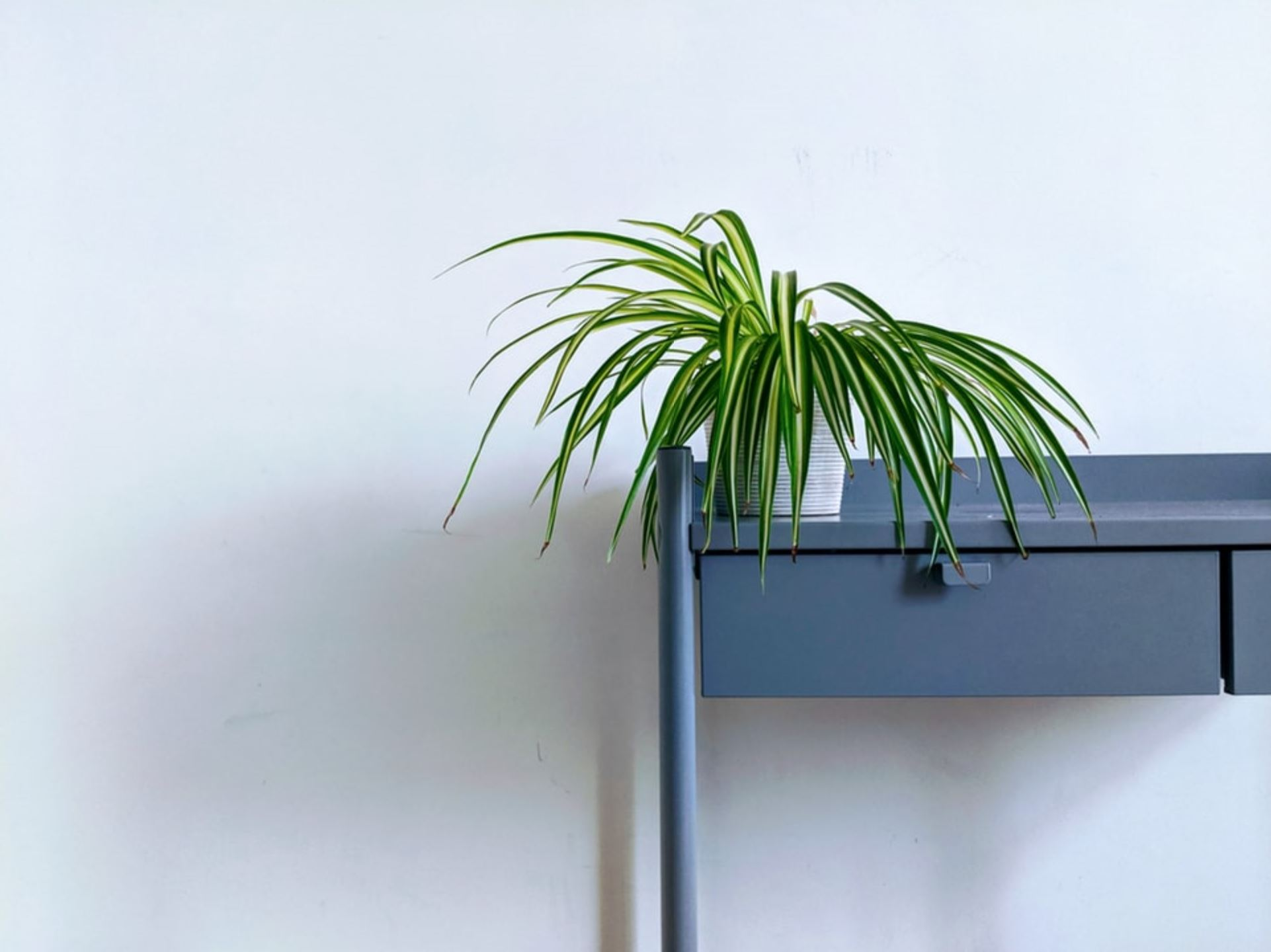House Plants - Spider Plant