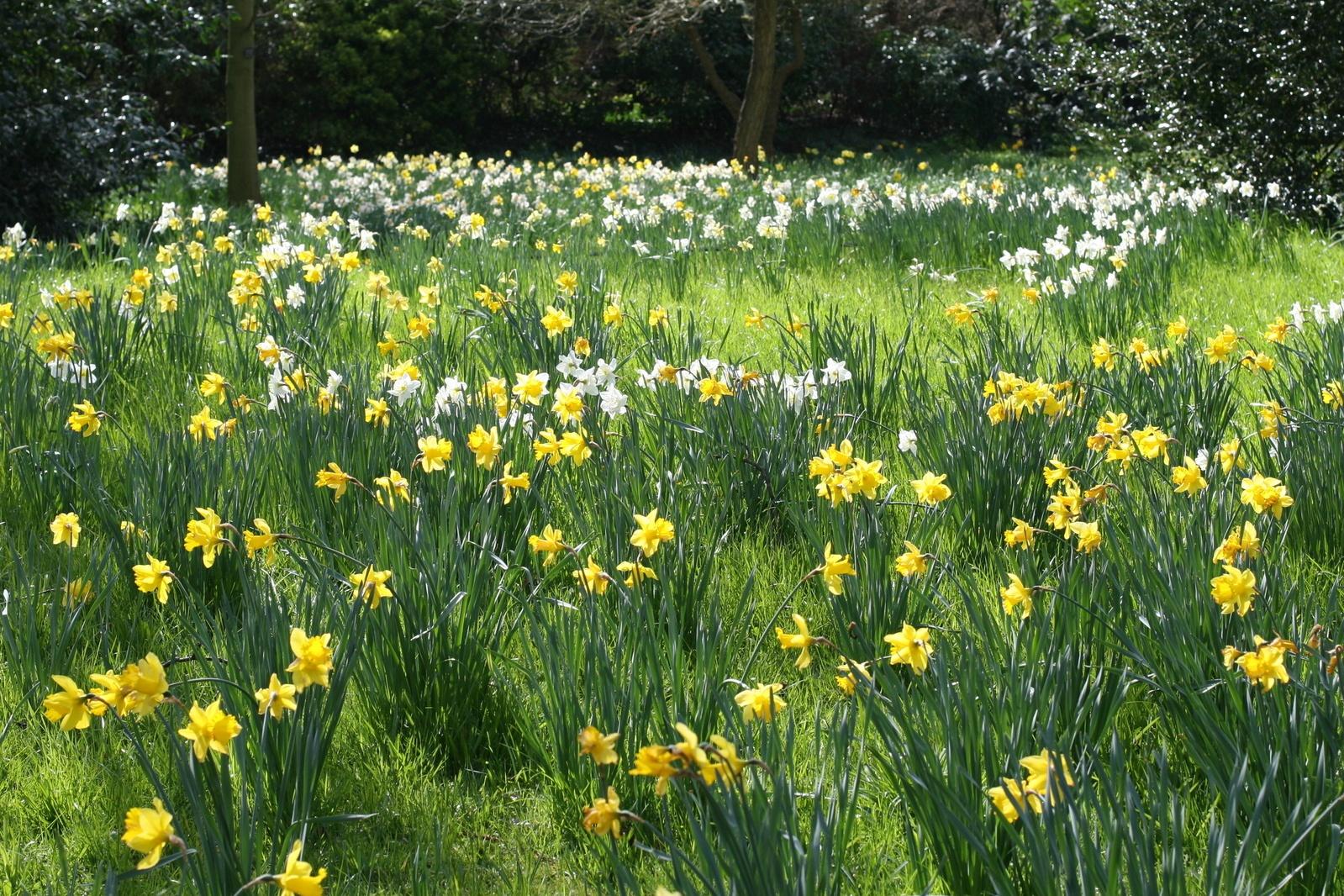 daffodils-2-1376683-1599x1066.jpg