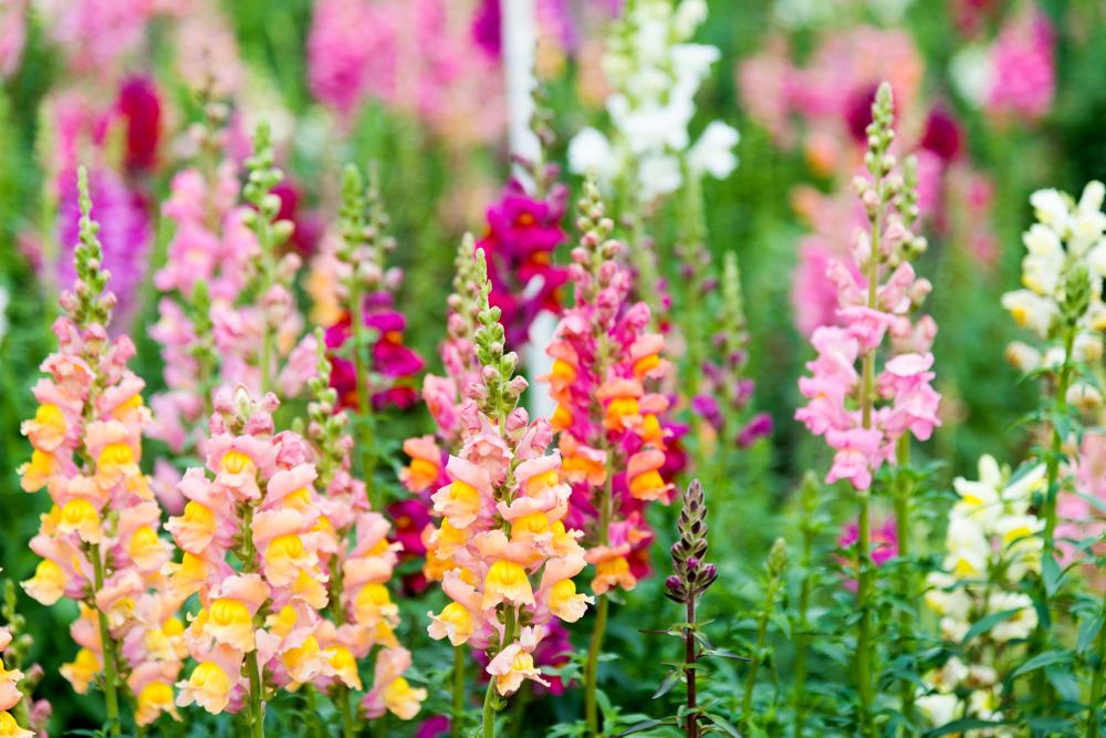 snapdragon-flowers-istock-baona